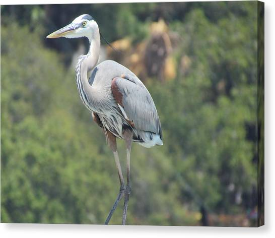 Great Blue Heron Canvas Print by Ginger Adams