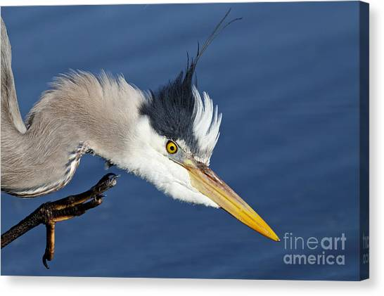 Great Blue Heron - Good Scratch Canvas Print