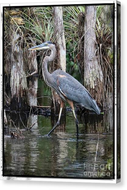 Great Cypress Canvas Print - Great Blue Heron In The Swamp With Border by Carol Groenen