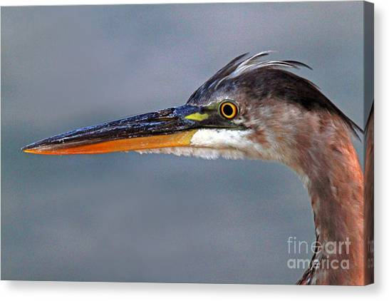 Great Blue Heron Canvas Print by Jim Beckwith