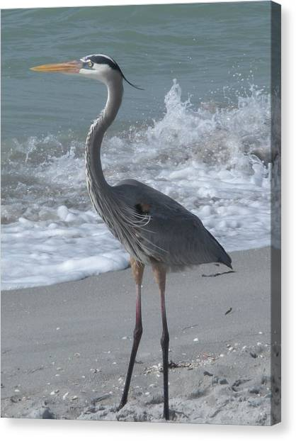 Great Blue Heron Canvas Print by Jeanette Oberholtzer