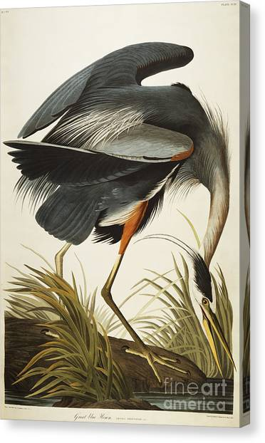 Wild Animals Canvas Print - Great Blue Heron by John James Audubon