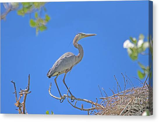 Great Blue Heron Nest Protector  Canvas Print
