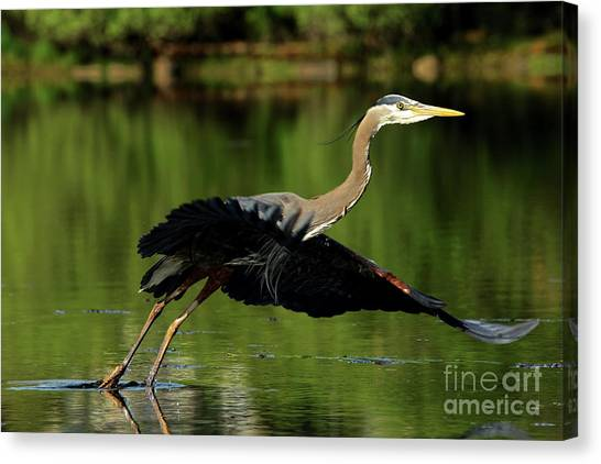 Great Blue Heron - Over Green Waters Canvas Print