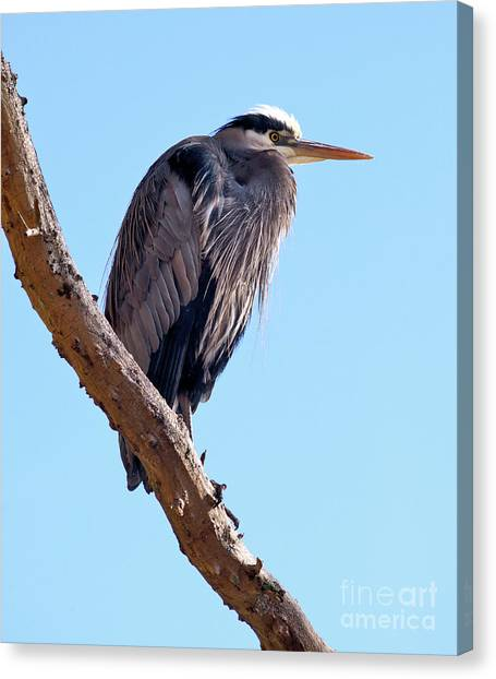 Great Blue Heron Perched On Tree Branch Canvas Print by Terry Elniski
