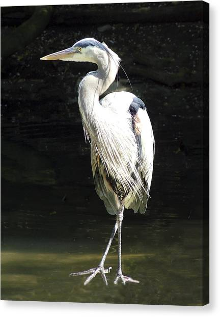 Great Blue Heron Standing Profile Canvas Print