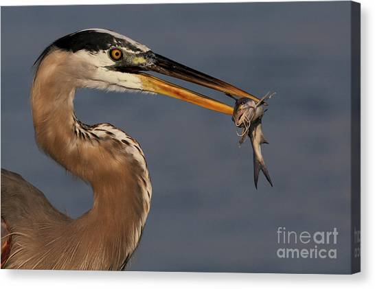Great Blue Heron W/catfish Canvas Print