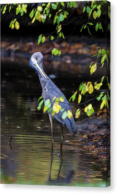 Great Blue Heron With An Itch Canvas Print