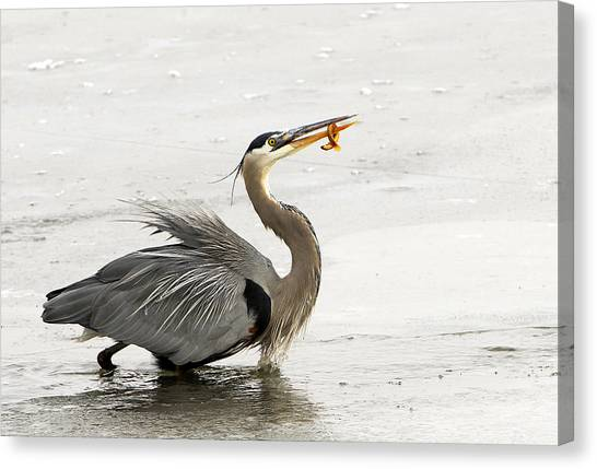 Great Blue Heron With Leech Canvas Print by Dennis Hammer