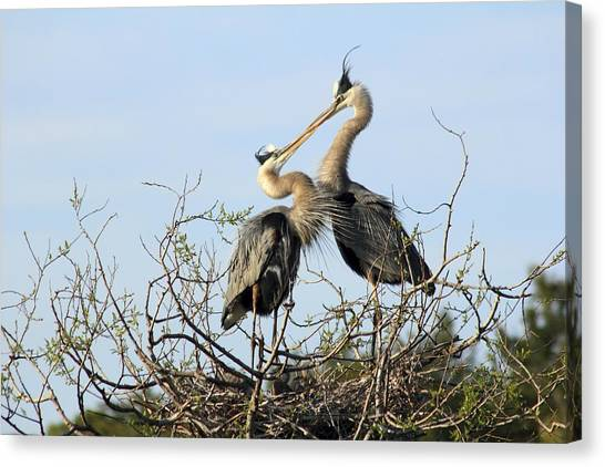 Great-blue Herons On Nest At The Venice Rookery, Florida Canvas Print