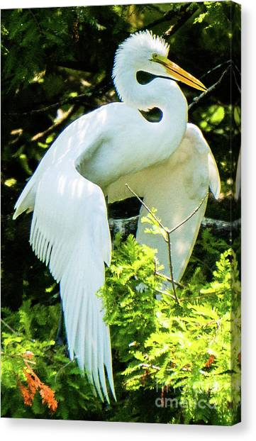 Great Egret Stretching Canvas Print