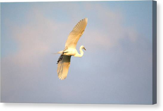 Great Egret Bathed In Golden Sunlight Canvas Print