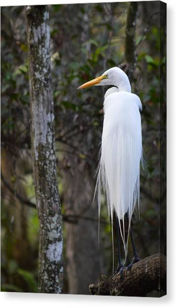 Great Cypress Canvas Print - Great Egret In The Great Cypress Swamp by rd Erickson