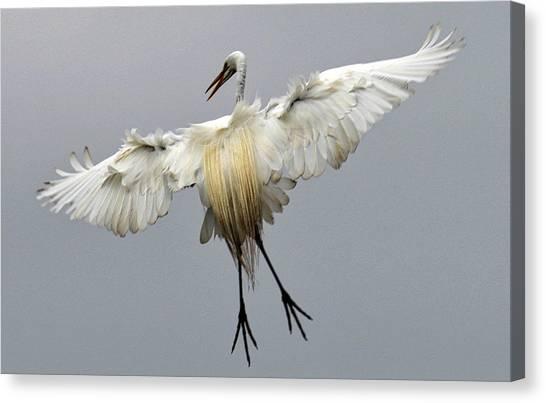 Great Egret Landing Canvas Print by Lindy Pollard