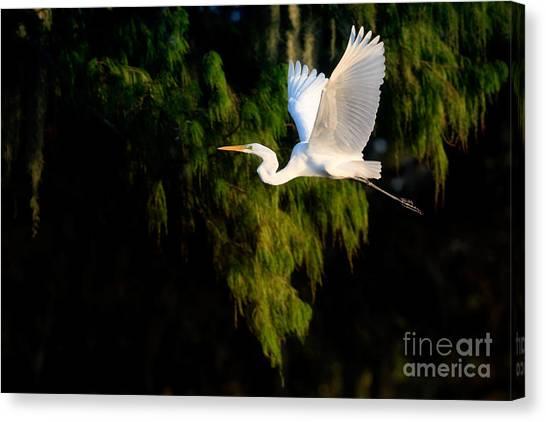 Great Cypress Canvas Print - Great Egret by Matt Suess