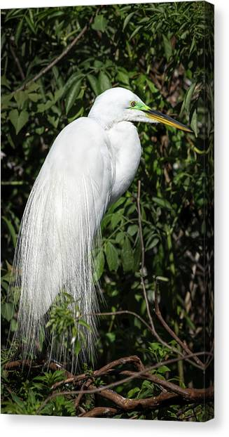 Canvas Print featuring the photograph Great Egret Portrait One by Steven Sparks