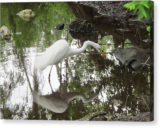 Great Egret Ready To Strike Canvas Print