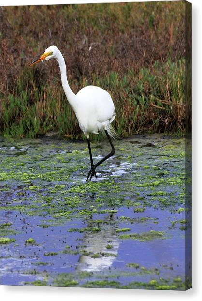 Ucsb Canvas Print - Great Egret by Richard Stephen
