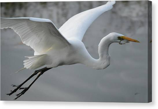 Great Egret With Fish Canvas Print