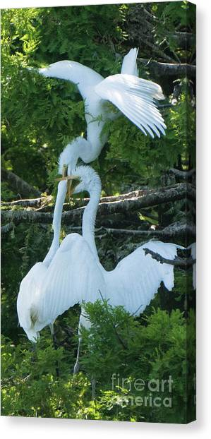 Great Egrets Horsing Around Canvas Print