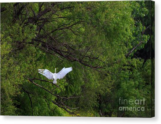 Great Egrets In The Shore Canvas Print