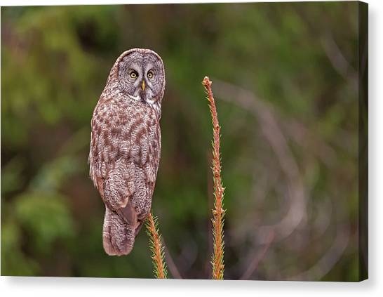 Great Gray Owl Pose Canvas Print