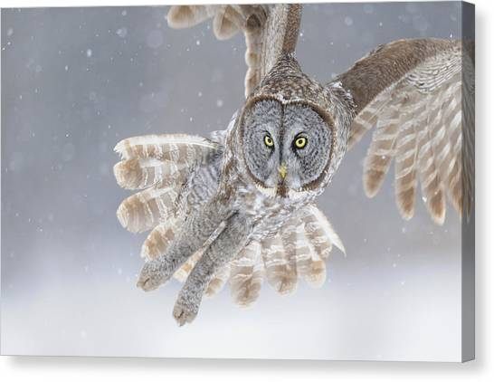 Owls Canvas Print - Great Grey Owl In Snowstorm by Scott  Linstead