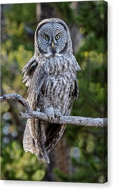 Great Grey Owl Yellowstone Canvas Print