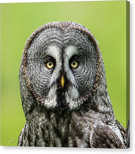 Great Grey's Portrait Closeup Square Canvas Print