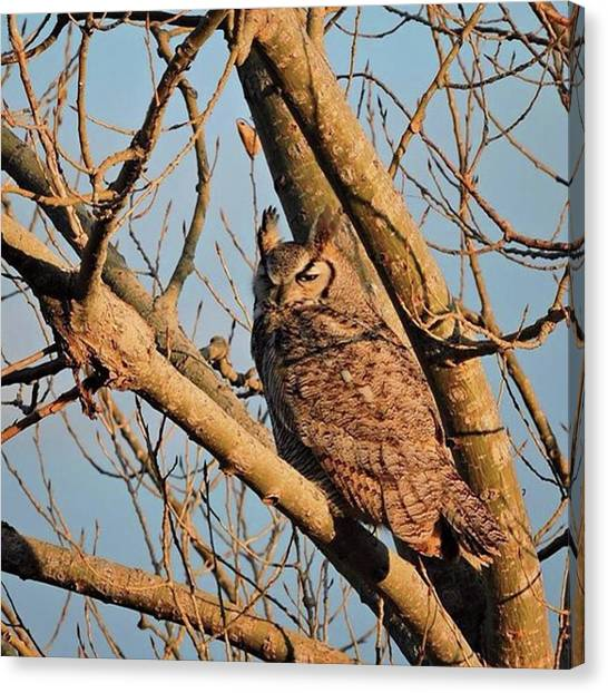 Owls Canvas Print - Great Horned Owl At The Aurora by Connor Beekman