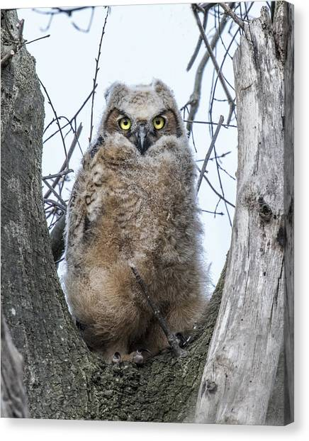 Great Horned Owl Portrait Canvas Print
