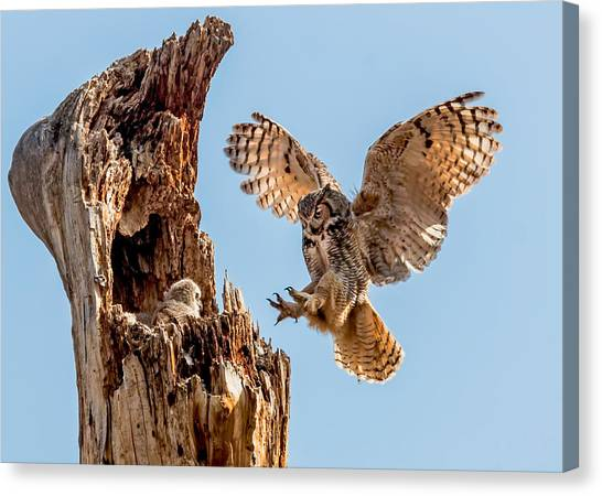 Great Horned Owl Returning To Her Nest Canvas Print