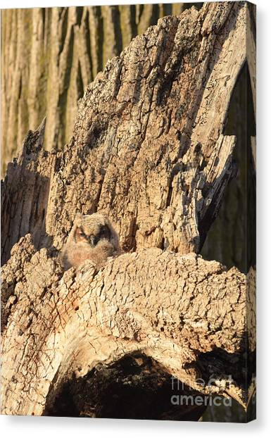 Great Horned Owlet Two Canvas Print