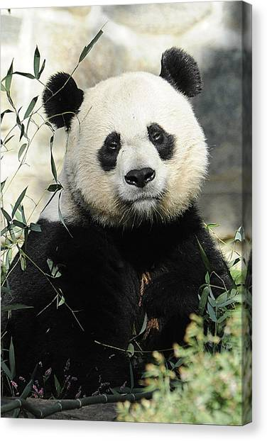Great Panda II Canvas Print