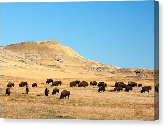 Bison Canvas Print - Great Plains Buffalo by Todd Klassy