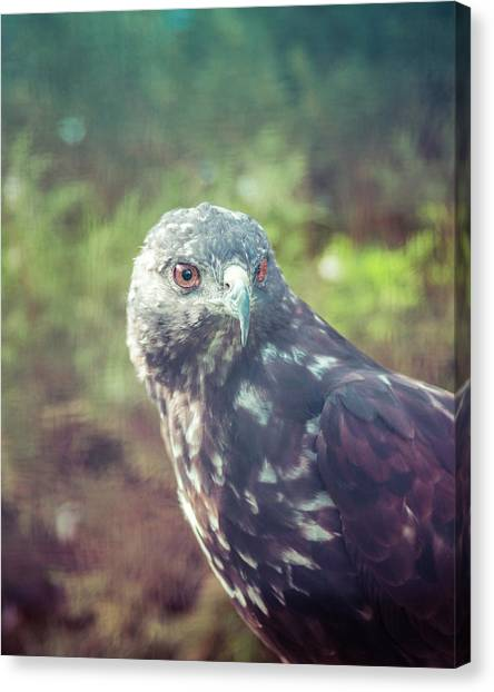 Great Plains Red-tailed Hawk Canvas Print by Betsy Armour