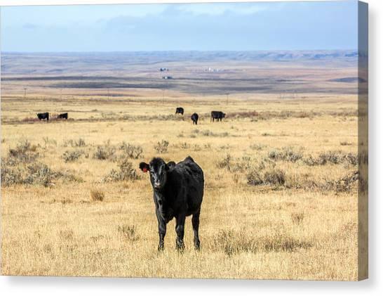Angus Steer Canvas Print - Great Plains Steer by Todd Klassy
