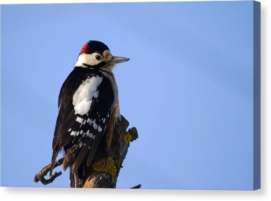 Great Spotted Woodpecker Against Blue Sky Canvas Print