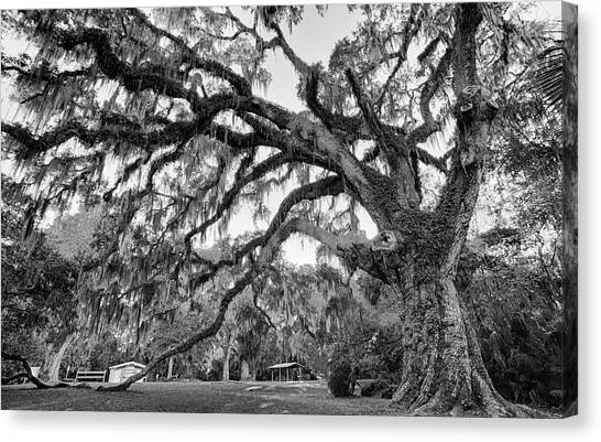 Great Tree Canvas Print