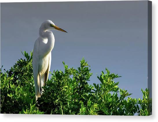 Great White Egret  Canvas Print