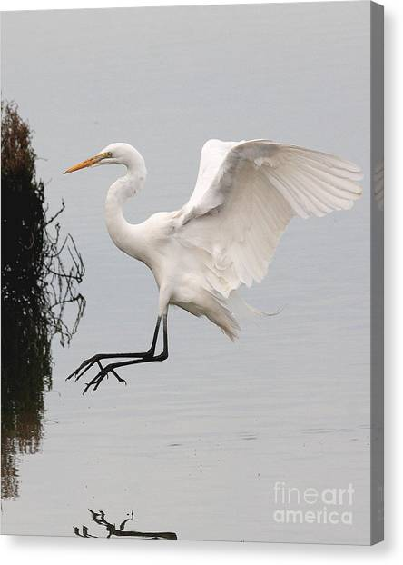 Great White Egret Landing On Water Canvas Print by Wingsdomain Art and Photography