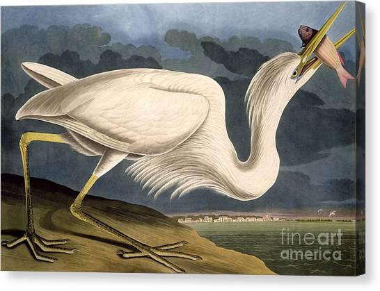 Herons Canvas Print - Great White Heron by John James Audubon