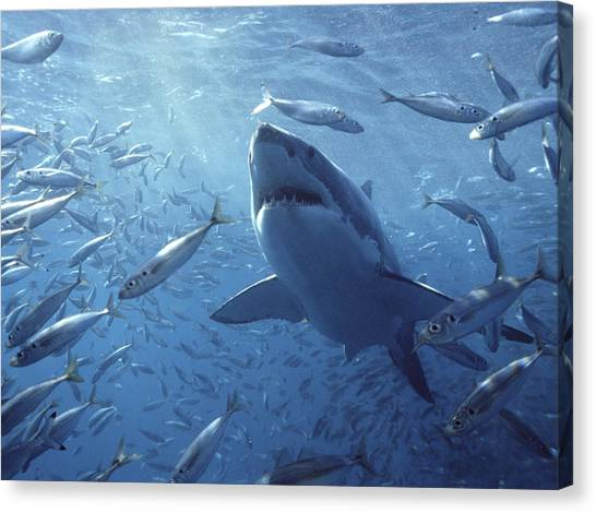 Animal Behaviour Canvas Print - Great White Shark Carcharodon by Mike Parry