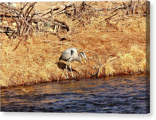 Greatblueheron1 Canvas Print