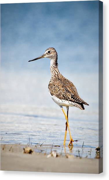 Greater Yellow Legs At Rachel Carson Estuarine Reserve Canvas Print