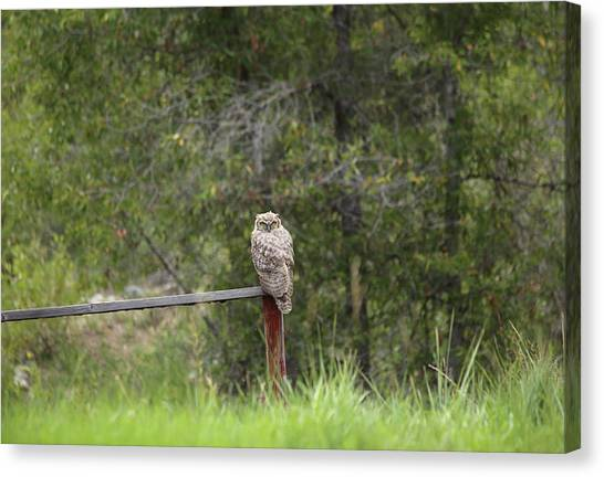 Greathornedowl2 Canvas Print