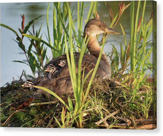 Grebe And Chicks Canvas Print