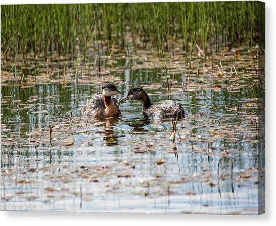 Grebe Breakfast Canvas Print