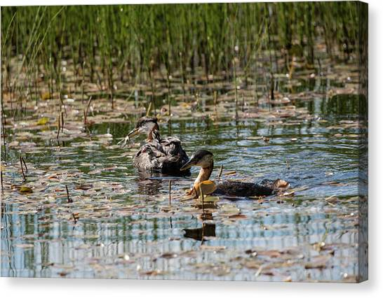Grebe's On The Water Canvas Print