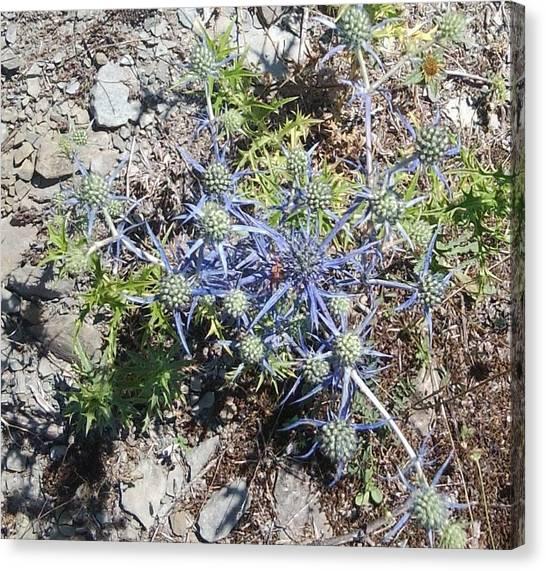 Greek Spiky Plant Canvas Print